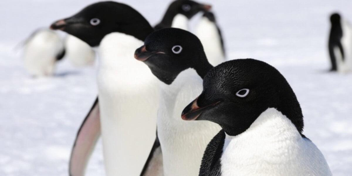 Three adélie penguins