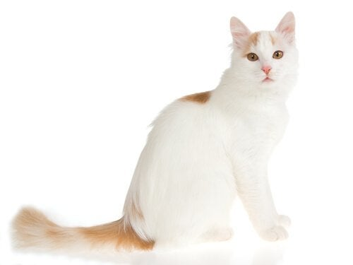 Turkish Van is one of the largest cat breeds