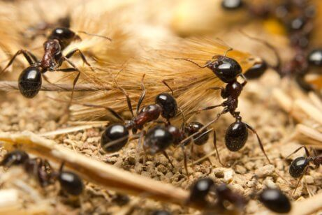 Some black ants working.