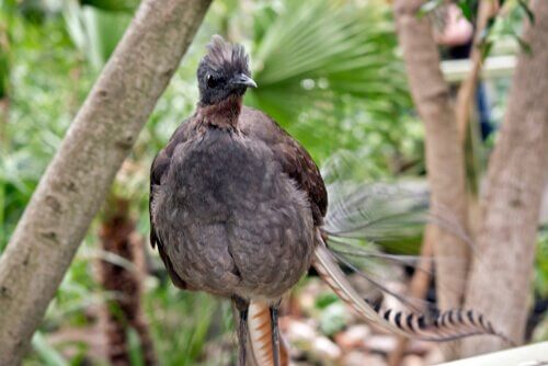 The lyrebird has a large repertoire of sounds.