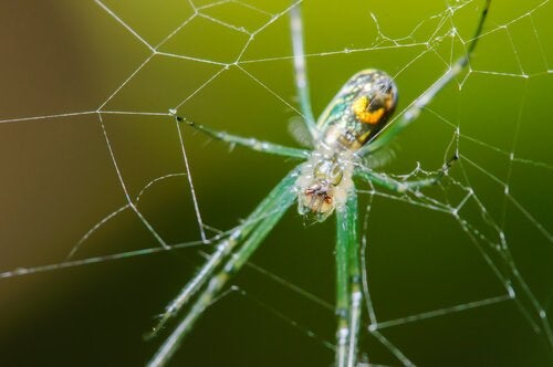 An orchard spider in its web.