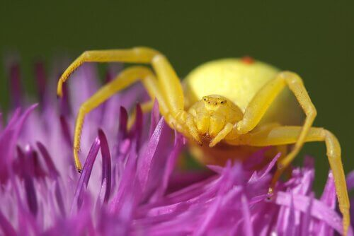 A golden crab spider on a flower.