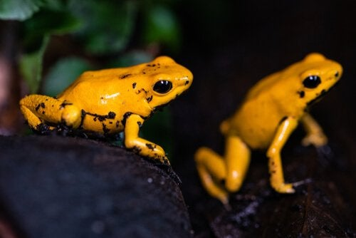 two golden frogs in their habitat.
