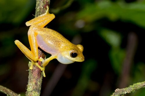 A golden frog on a branch.