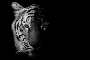 A shaded photo of a tiger.