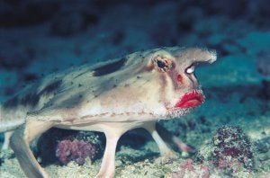 A close up of the red-lipped bat fish.