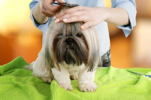 A small dog having a hair cut.