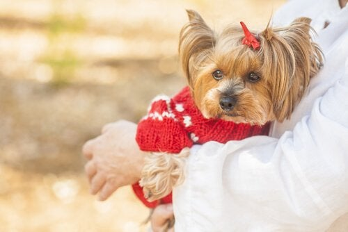 A lady carrying a Yorkshire Terrier.