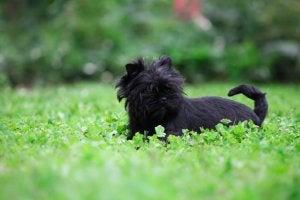 An affenpinscher dog in a field.