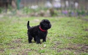 An Affenpinscher puppy in a field.