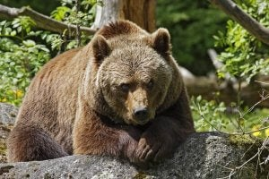 A grizzly bear in its habitat.