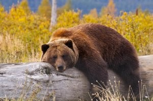 A brown bear sleepig on a trunk.