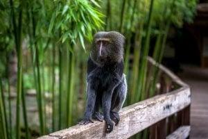 owl-faced monkey