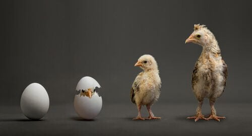 The hatching process of a chick.