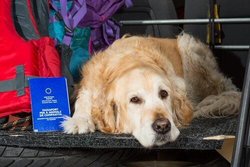 A dog laying in the car.