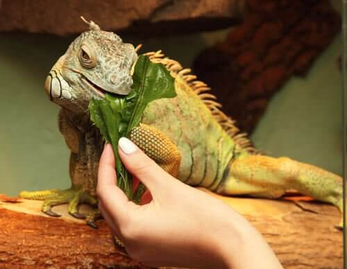 An iguana eating green leaves.