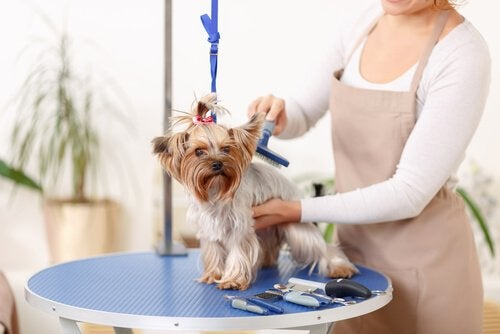 A dog having a hair cut.