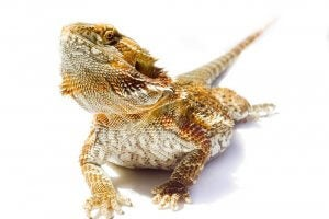 A close up of a bearded dragon.