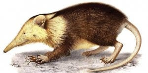 A drawing of a solenodon