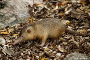 A solenodon walking on the ground.
