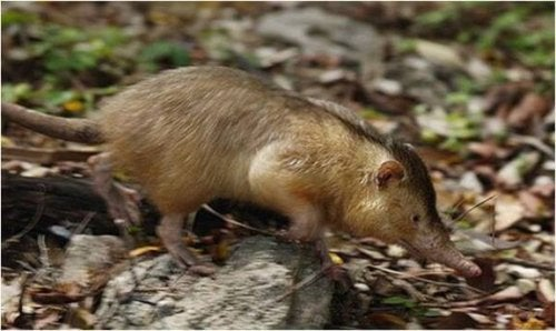 The Solenodon, a Living Fossil