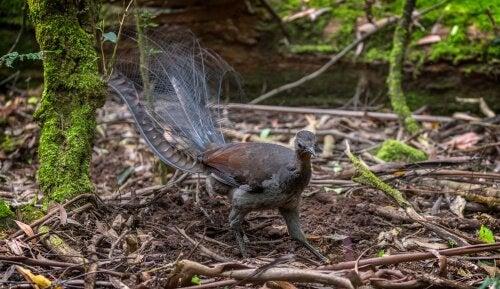 A lyrebird in a wood.