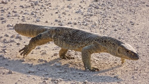 Monitor lizard walking