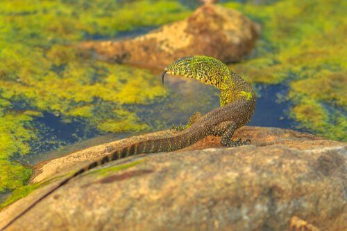 Monitor lizard sun bathing on rock