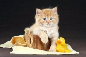 A cat with a plastic duck.