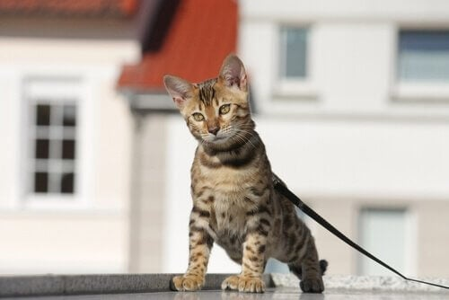 A cat on a leash.