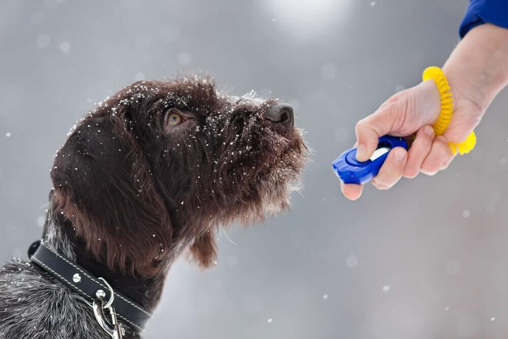 A dog being trained with the clicker training method.