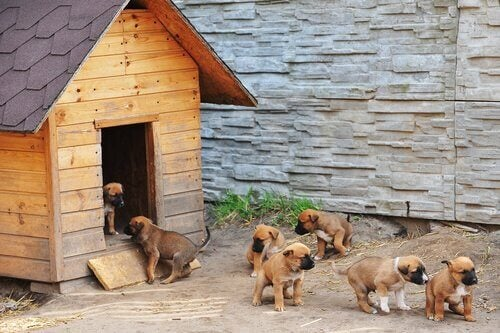 Puppies playing outside a dog kennel.