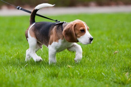 A beagle puppy on a lead.