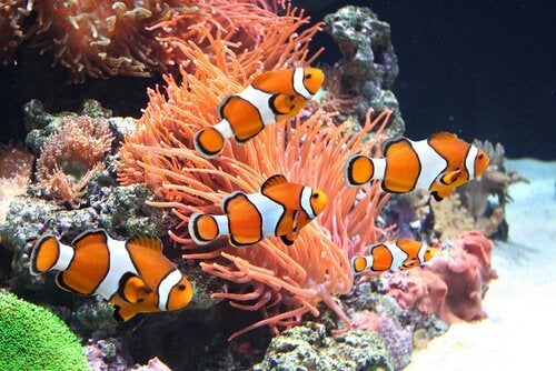 A school of clownfish in the sea.