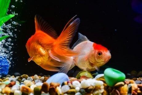 Two goldfish in an aquarium.