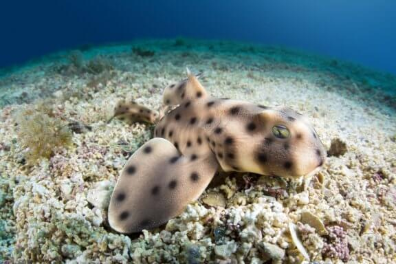 The Horn Shark: Habitat and Characteristics
