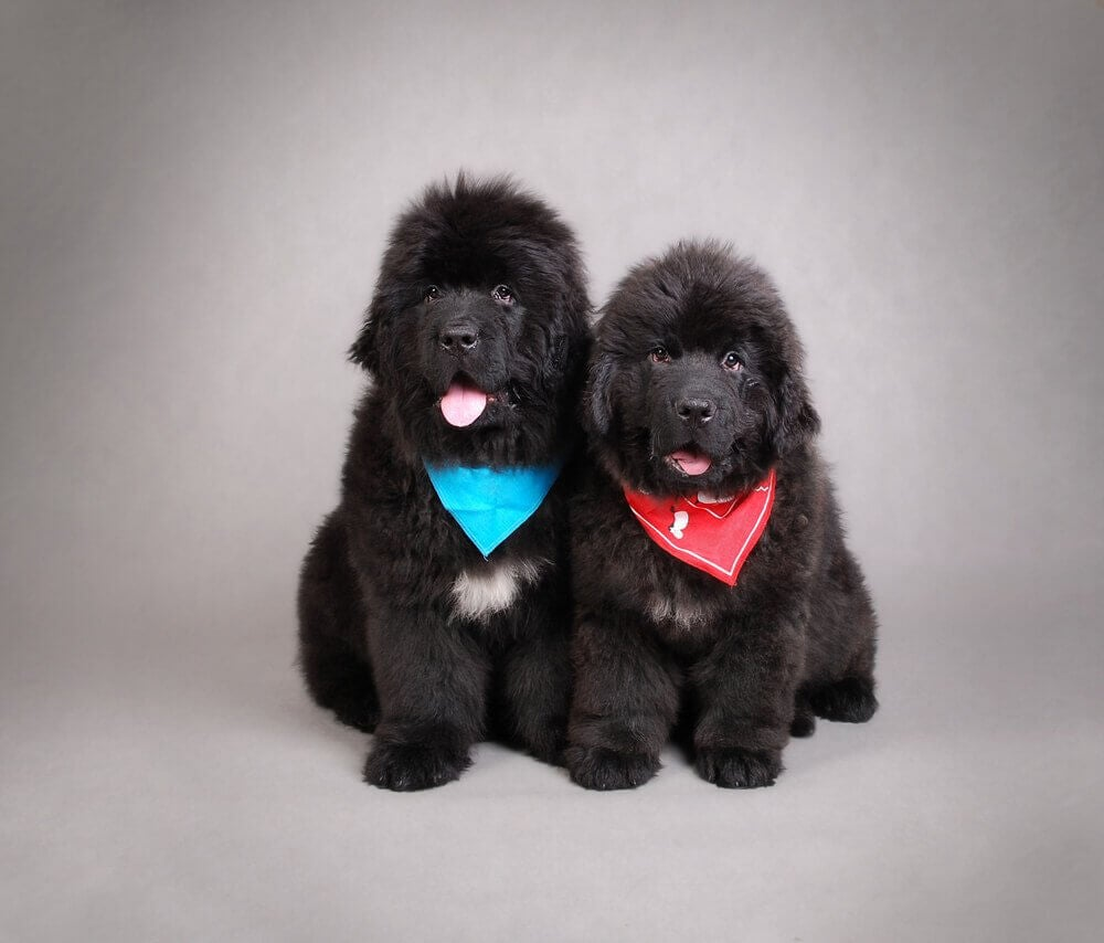 Newfoundland puppies are dogs that look like bears.