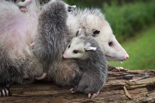 An opossum mother with her babies.