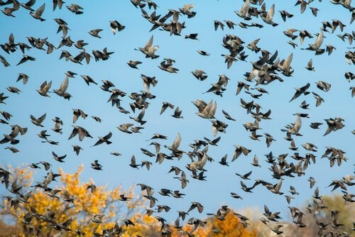 A flock of starlings flying.