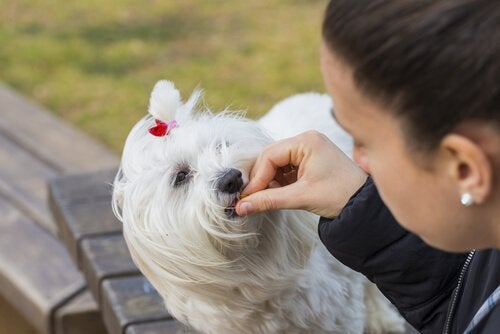 Dog eating from a woman's hand.