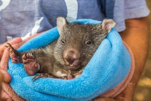 Australian Wombat Dies of Loneliness