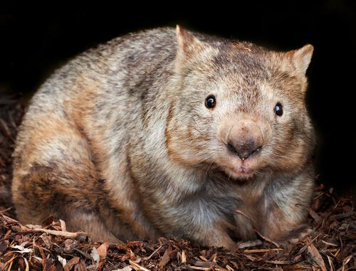 A wombat eating.