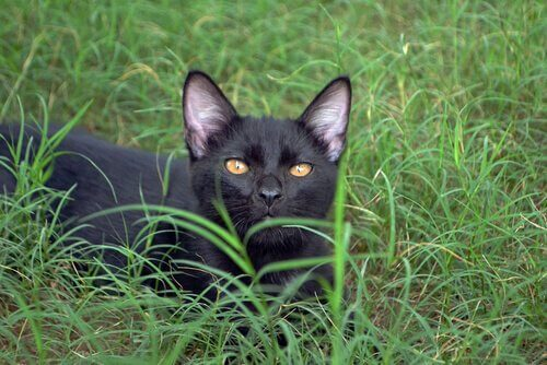 The Bombay Cat, a Panther in the Home