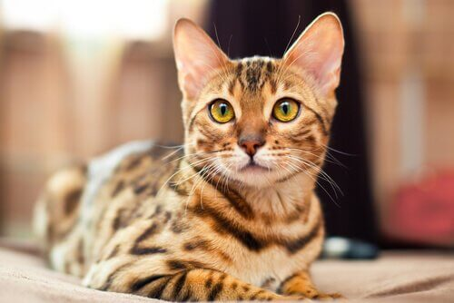 This is a bengal cat.