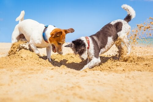 Two dogs playing in the sand.