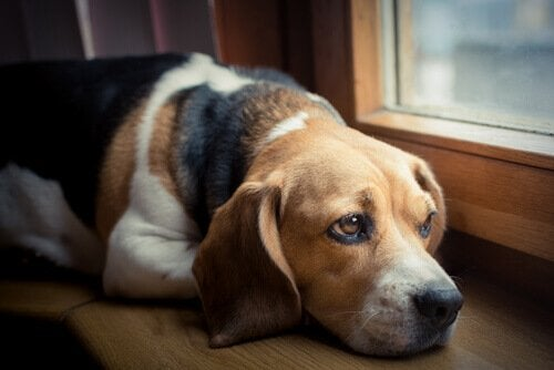 Sad dog stares out the window.