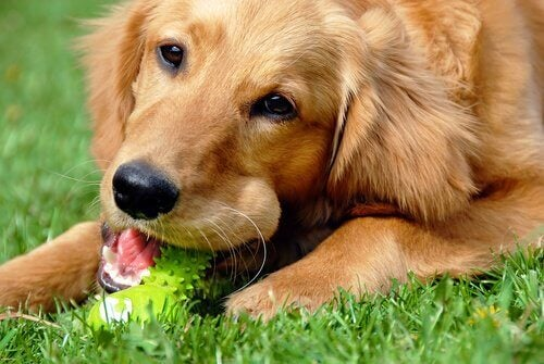 A dog chewing his toy.