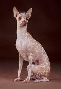 One of the strangest dog breeds.