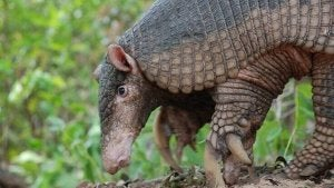 A picture of the giant armadillo.