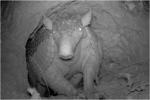 A giant armadillo underground.